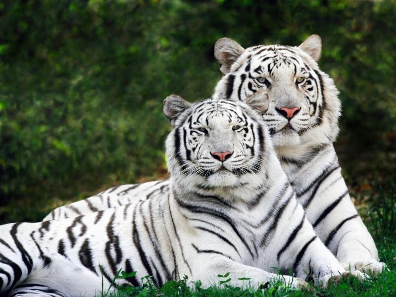 Favorit Le Tigre de Sibérie BX16
