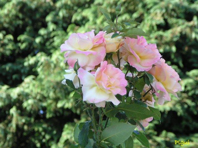 Roses d'Auray. dans Fleurs et plantes p8050112