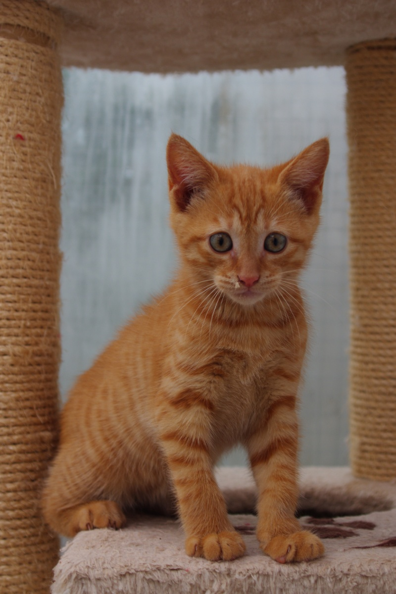 toulouse adorable chaton tigr roux tr s c lin l 39 adoption ecole du chat quiberon. Black Bedroom Furniture Sets. Home Design Ideas
