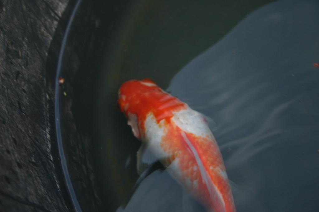 Probl me poisson rouge queue de voile for Poisson rouge a donner