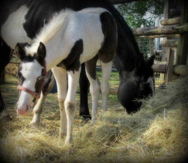 Forum sur le Paint Horse