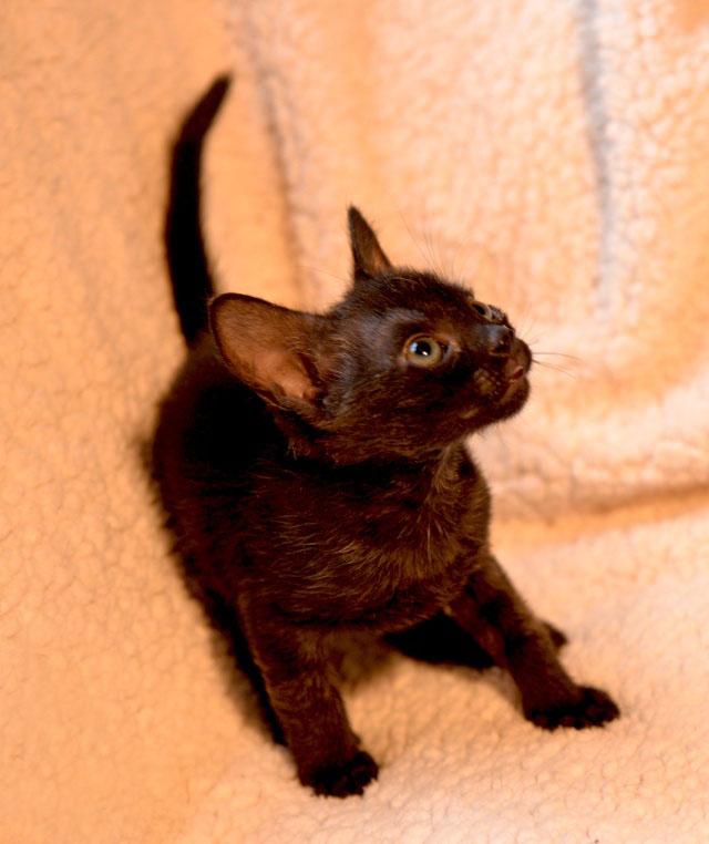 de beaux chatons a l 39 adoption 31 toulouse. Black Bedroom Furniture Sets. Home Design Ideas
