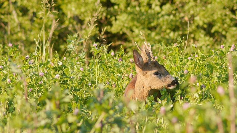 Cerf en velours en forêt de Fontainebleau