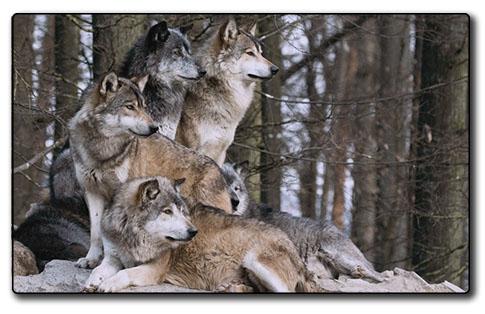 La tanière des Loups Elfiques