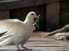 dove_a10.jpg