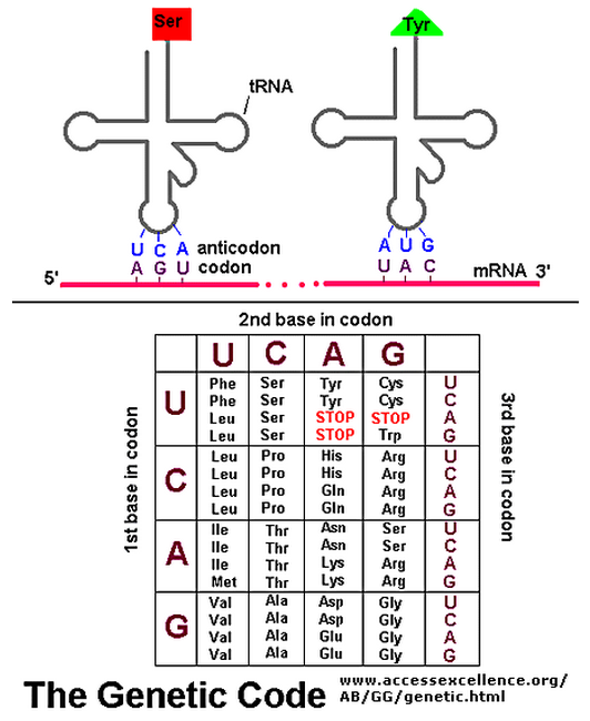 what is the relationship between nucleotides codons and amino acids