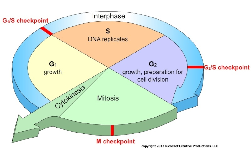 Printables Cell Growth And Division Worksheet chapter 5 cell growth and division worksheet answers the cycle