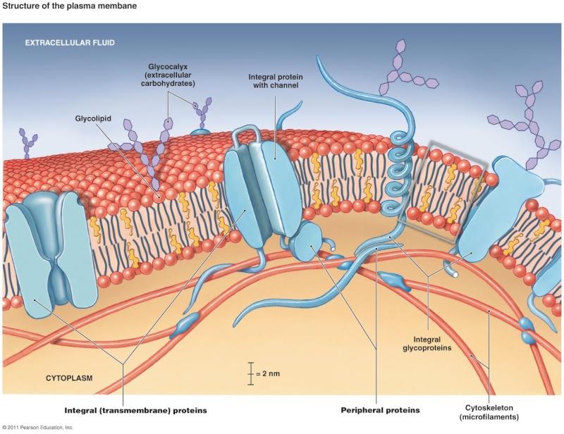 Cell Membranes, origins through natural mechanisms, or design ?