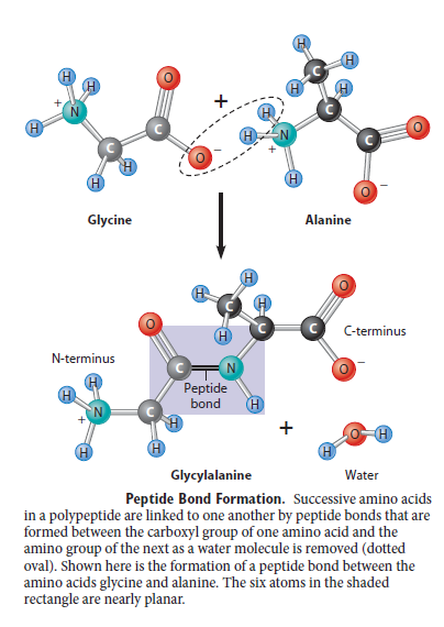 Peptide bonding of amino acids to form proteins and its origins