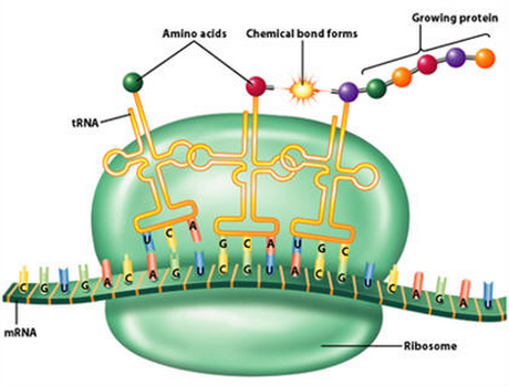 an analysis of the chemical reactions in the process of protein synthesis The analysis that follows is based on fidelity to this belief, with  protein  synthesis is the most expensive biosynthetic process known to us, and  and yet  unlike chemical reactions where mass action produces balance.
