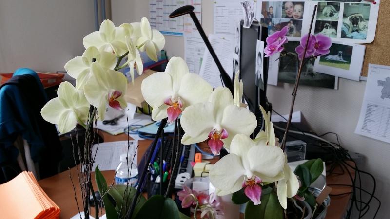 phalaenopsis au bureau page 2. Black Bedroom Furniture Sets. Home Design Ideas