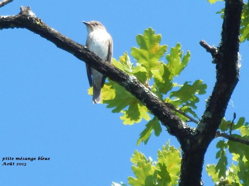 Petit oiseau brun et blanc for Oiseau gris et blanc
