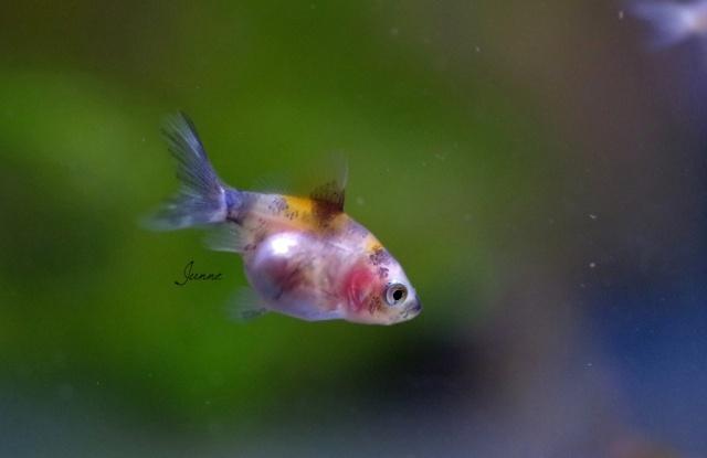 reproduction de mes poissons japonais en bassin page 2