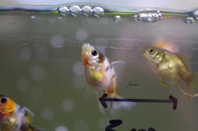 Reproduction de mes poissons japonais en bassin page 2 for Poisson japonais nourriture