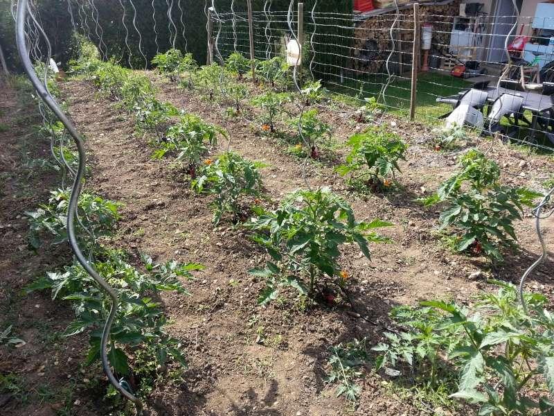 Frelons asiatique en picardie page 4 - Quand planter les tomates cerises ...