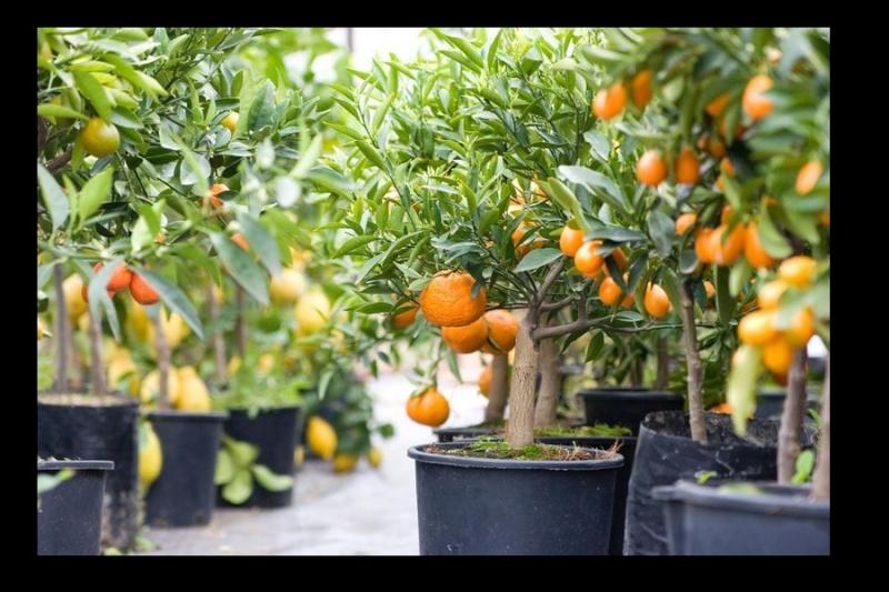 pousse feuilles kumquat