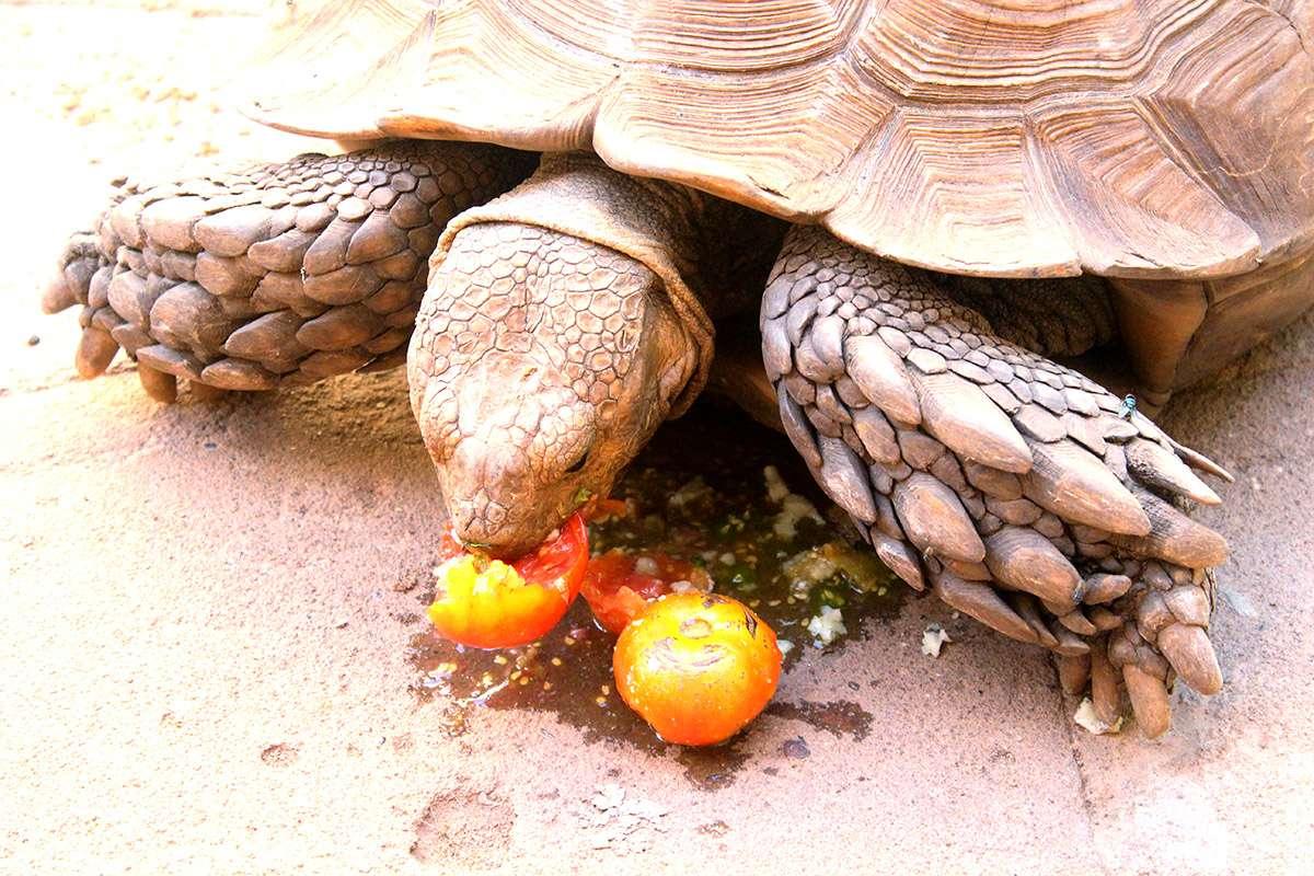 Tortue sillonn e bamako - Combien de sorte de tomate ...