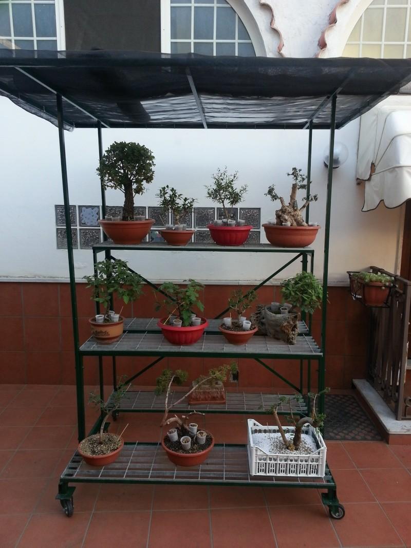 Dove coltiviamo i nostri bonsai pagina 23 for Dove comprare bonsai