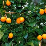 http://i18.servimg.com/u/f18/19/27/22/77/citrus10.jpg