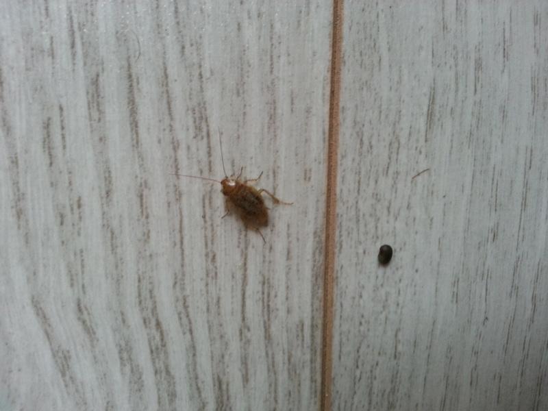 Identification blatte - Insectes dans la cuisine ...