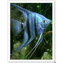 Scallaire bleu
