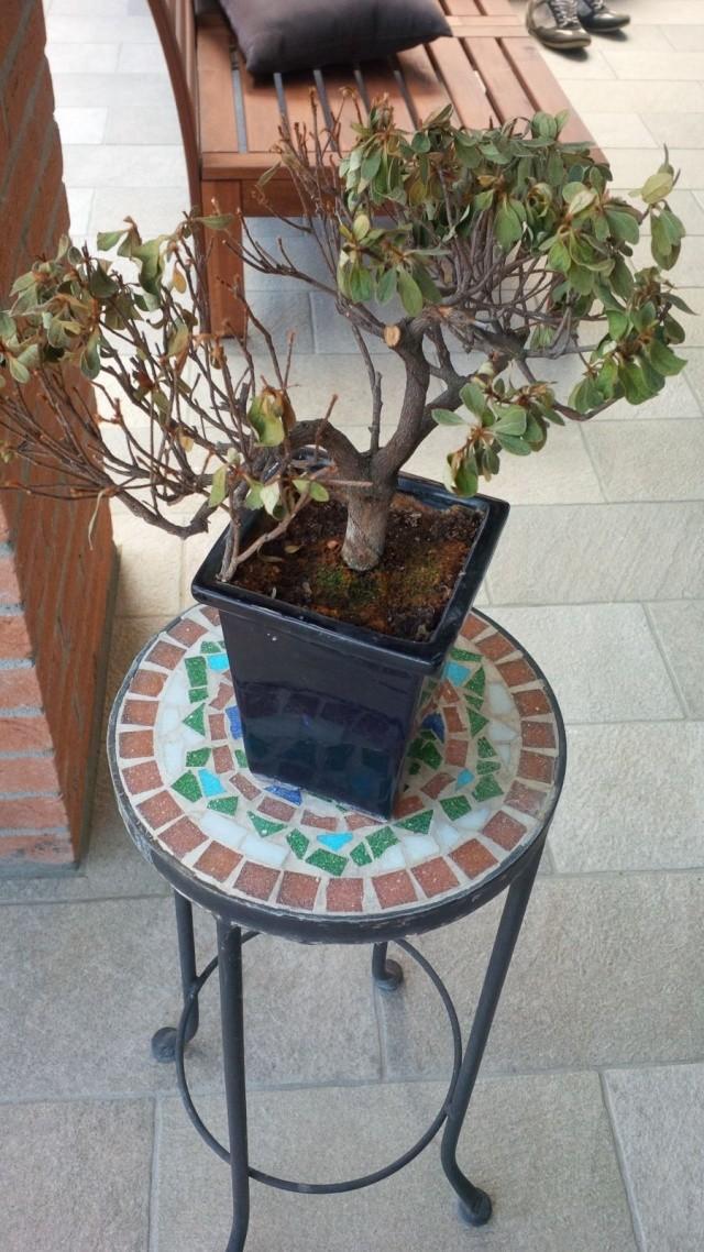 Azalea con foglie secche - Azalea foglie ...